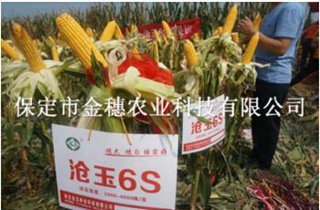 【沧玉6S玉米种子】沧玉6S玉米种子怎么样