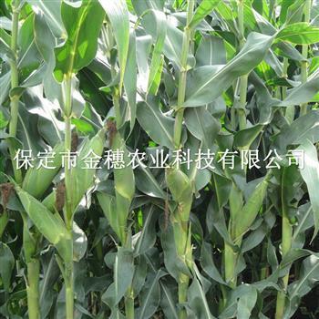 长势良好的青贮玉米种子