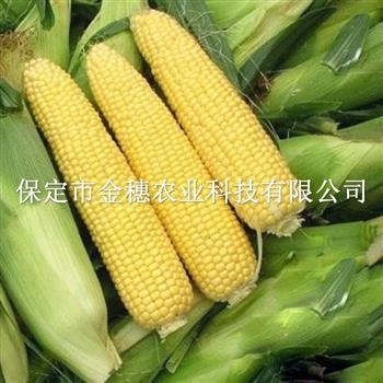 珍甜70F1水果玉米种子的种植小技巧