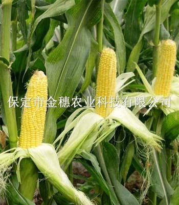 """京科糯玉米种子施肥""""三不原则"""""""