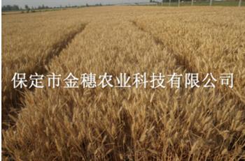 【早熟小麦种子】在农业生产中的意义