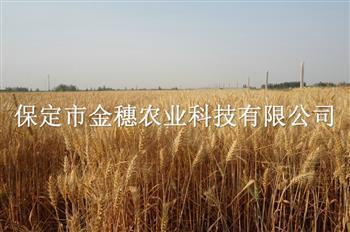 烈日炎炎【高产小麦种子】热情高涨