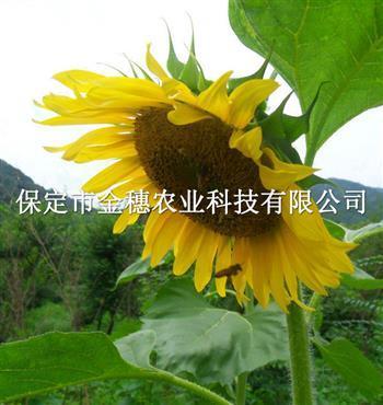矮大头油葵种子的管理手段