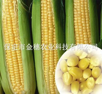 高产玉米种子与普通玉米种子