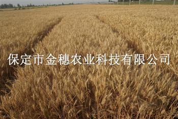 高产小麦新品种早熟小麦种子