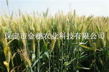 """大穗高产小麦种子""""责无旁贷"""""""