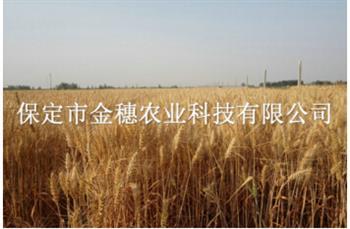 """【高产小麦种子】""""七分靠种,三分靠管"""""""