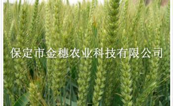 生病的【春小麦种子】有哪些症状