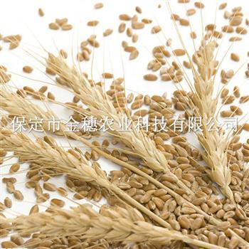 小麦种子的晾晒技巧