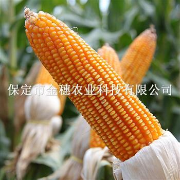 农作物玉米种子的基本形态