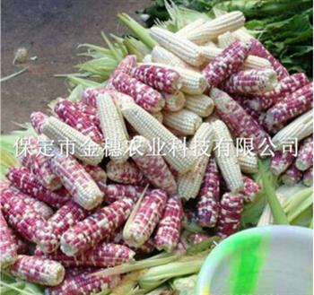 夏季【彩糯玉米种子】哪些地方需要预防