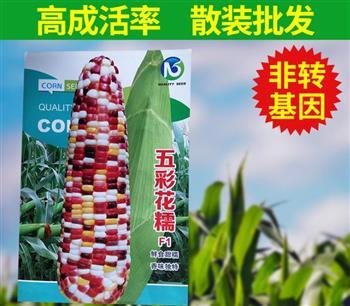 色泽鲜艳,价值高——五彩花糯F1水果玉米种子