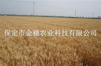 高产小麦种子在种植培育上要下功夫