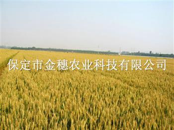 种植春小麦种子所具备的几个条件?