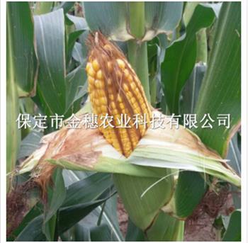 【335玉米种子】好不好,看了就知道