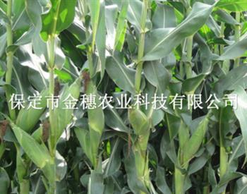 【青贮玉米种子】在什么时间收获,其方法收获是什么
