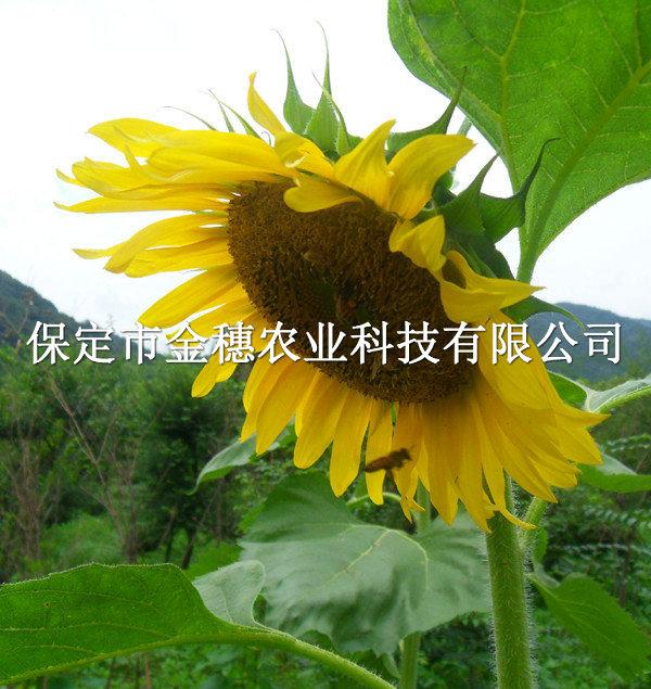 矮大头油葵种子