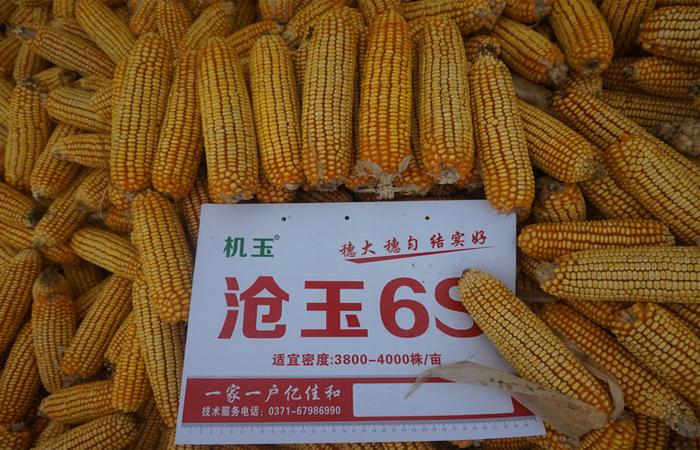 沧玉6S——玉米种子