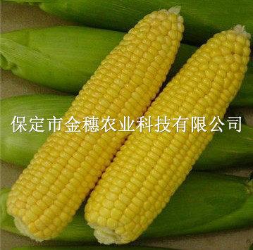 甜玉米种子——鲜甜518