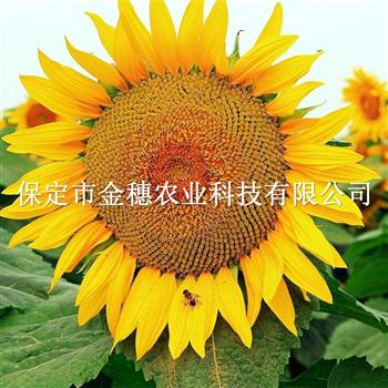 抗旱油葵种子