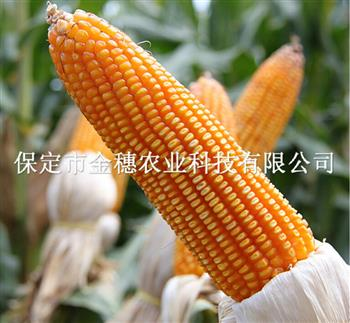 道元8号玉米种子