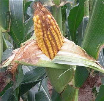郑单958玉米种子