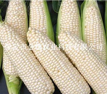 京科糯玉米种子