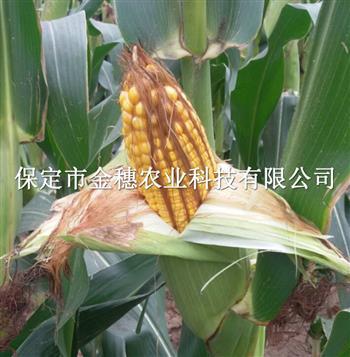 335玉米种子