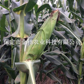 铁杆高抗王玉米种子