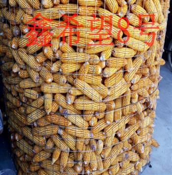 鑫希望8号玉米种子