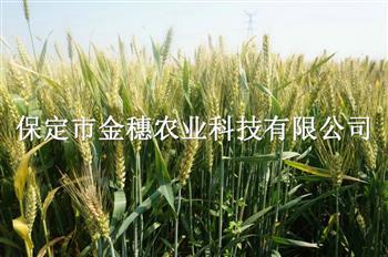 矮杆高产小麦种子