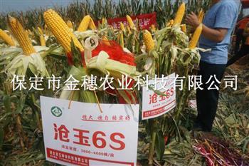 沧玉6S玉米种子