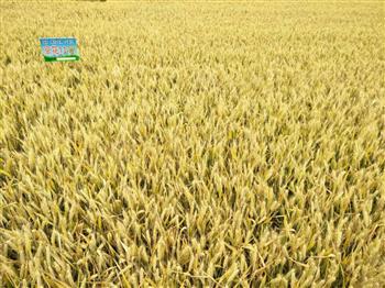 京花11小麦种子