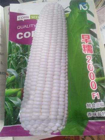 早糯2000水果玉米种子