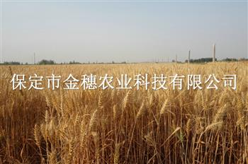 高产小麦种子