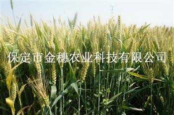 大穗高产小麦种子