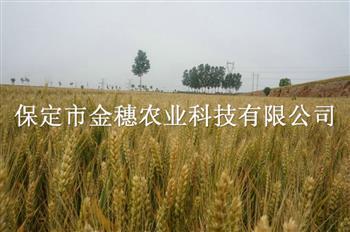 抗倒伏小麦种子
