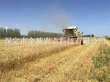 超高产抗病小麦种子